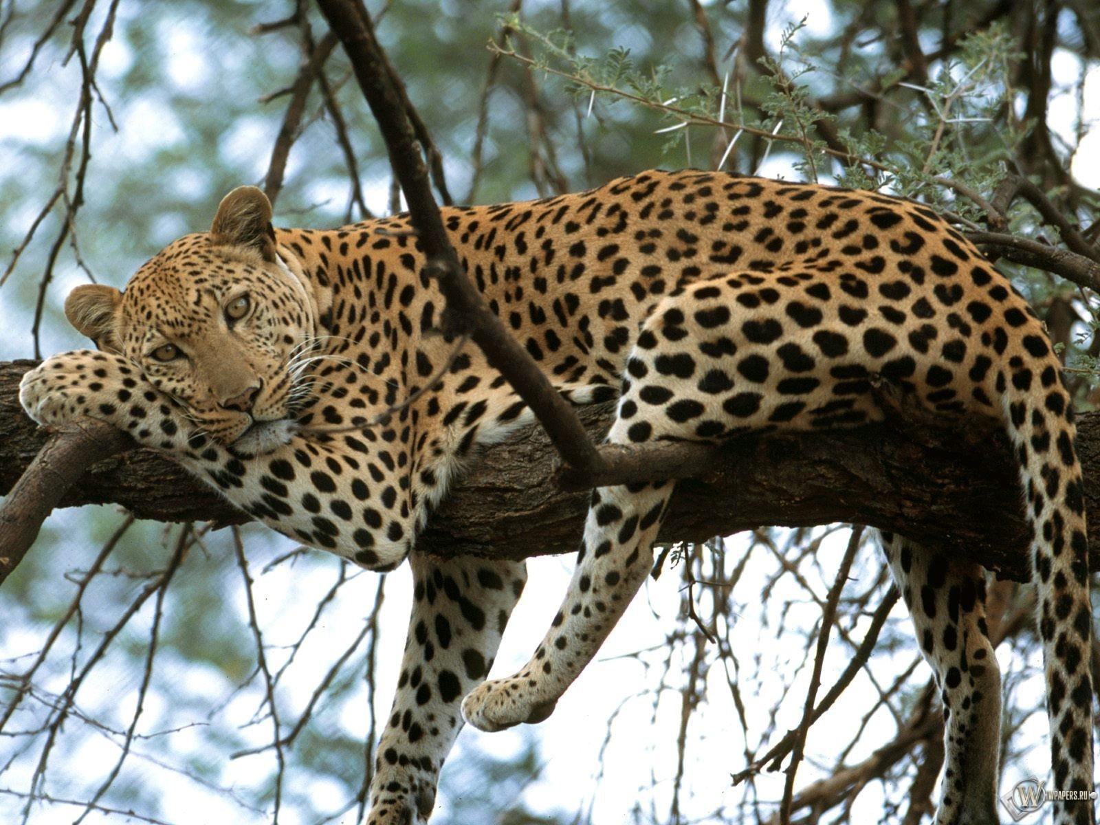 Леопард отдыхает на дереве 1600x1200