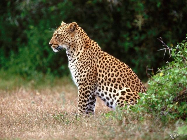 Леопард сидит