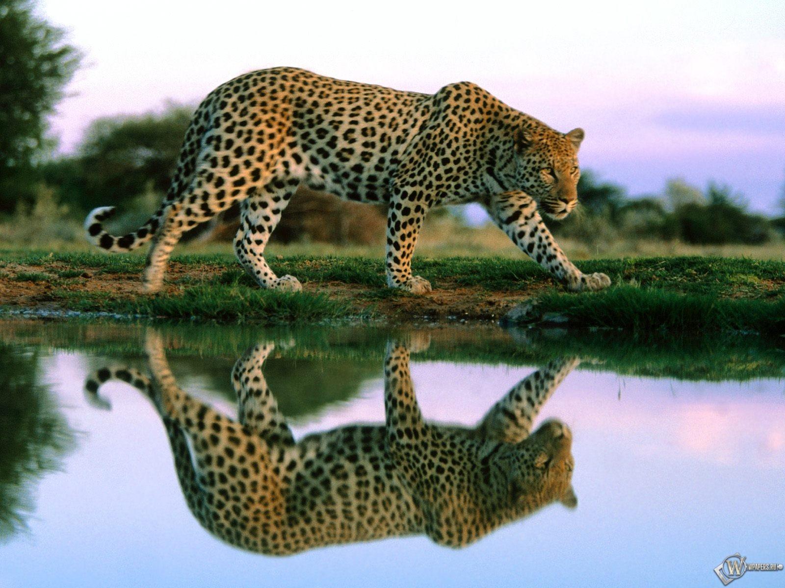 Леопард гуляет по берегу 1600x1200