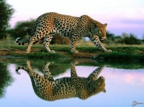 Обои Леопард гуляет по берегу: , Леопарды