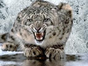 Обои Снежный Леопард: Снежный леопард, Леопарды