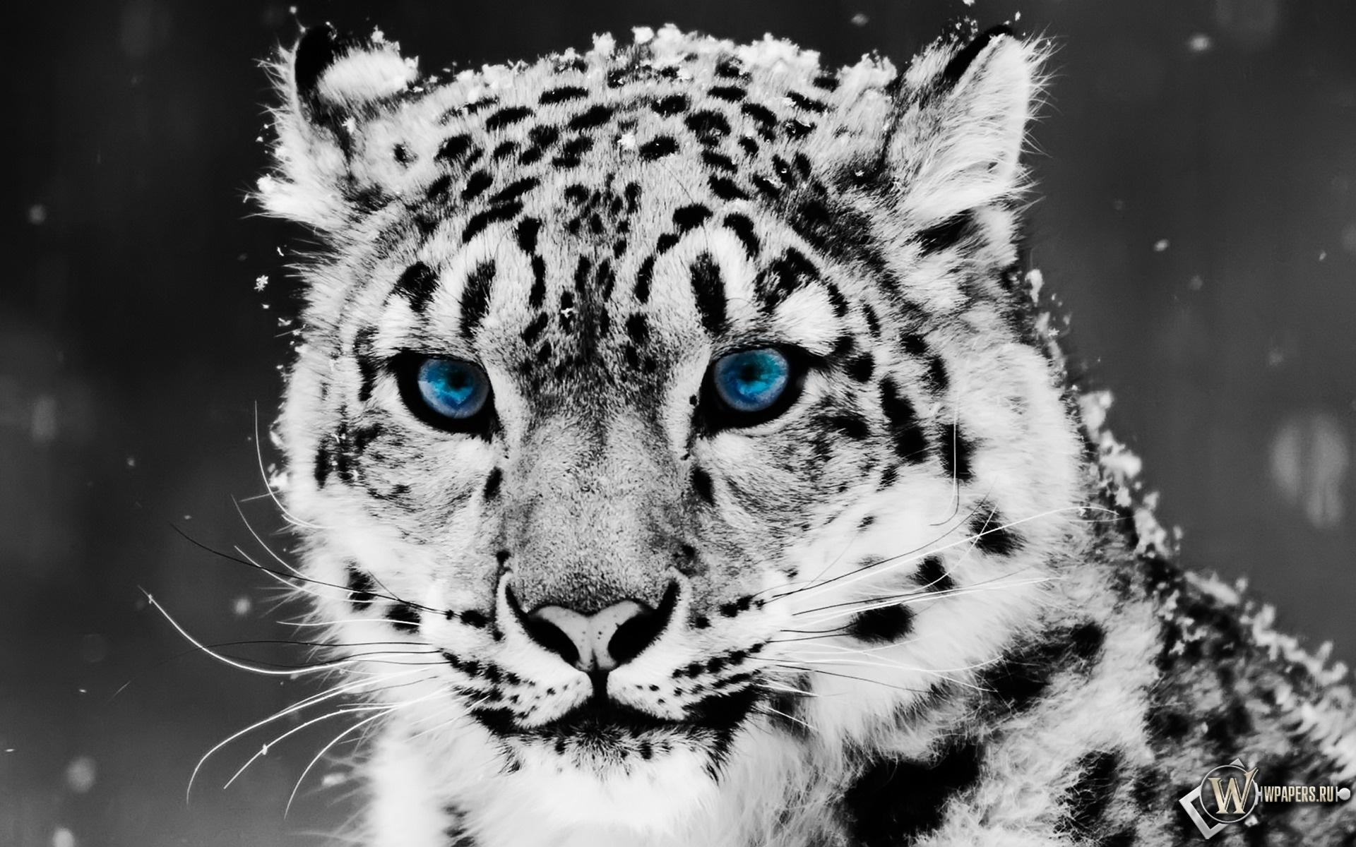 Snow blue eye Leopard 1920x1200