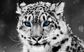 Обои Snow blue eye Leopard: Голубые глаза, Snow leopard, Blue eye, Снежный леопард, Леопарды