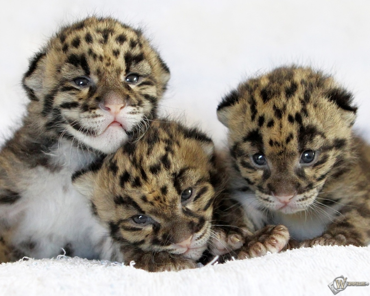 Обои котята леопардов котята малыши