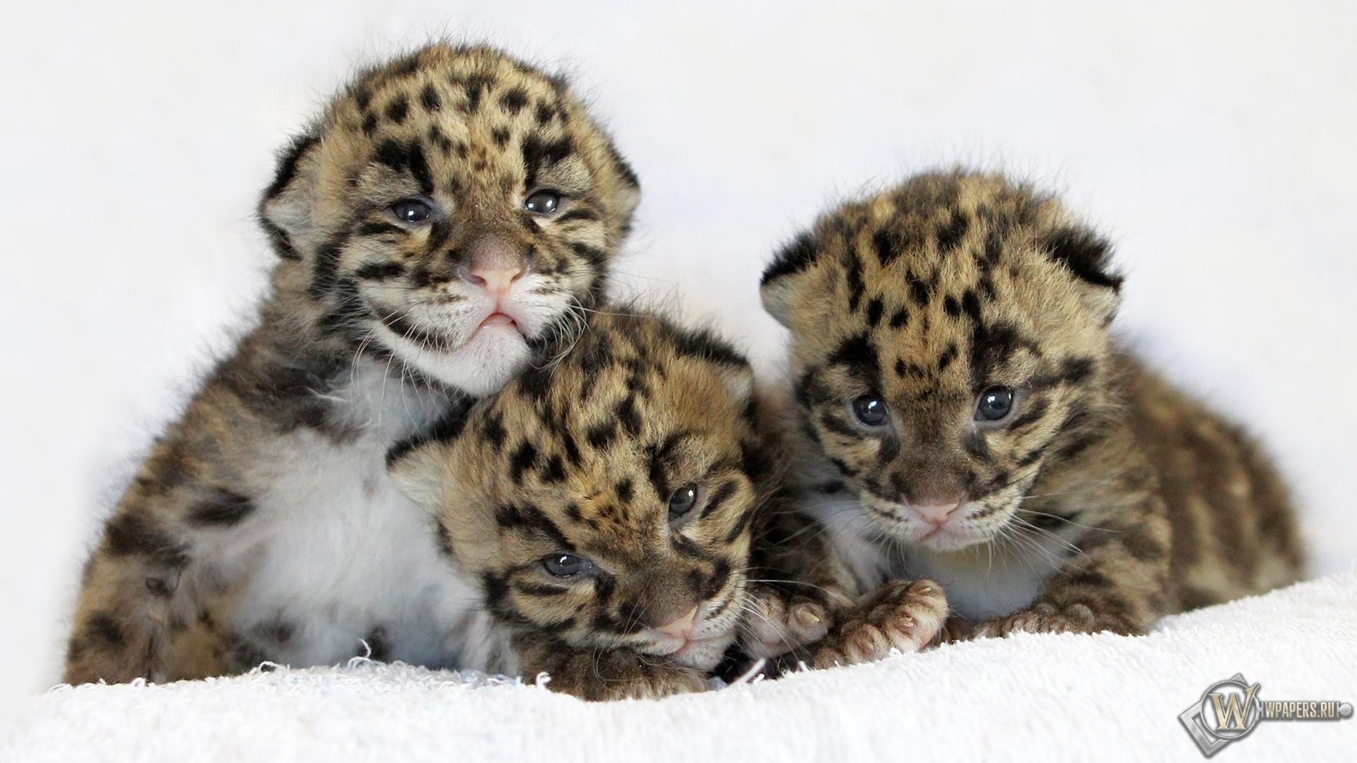 Котята леопардов 1920x1080