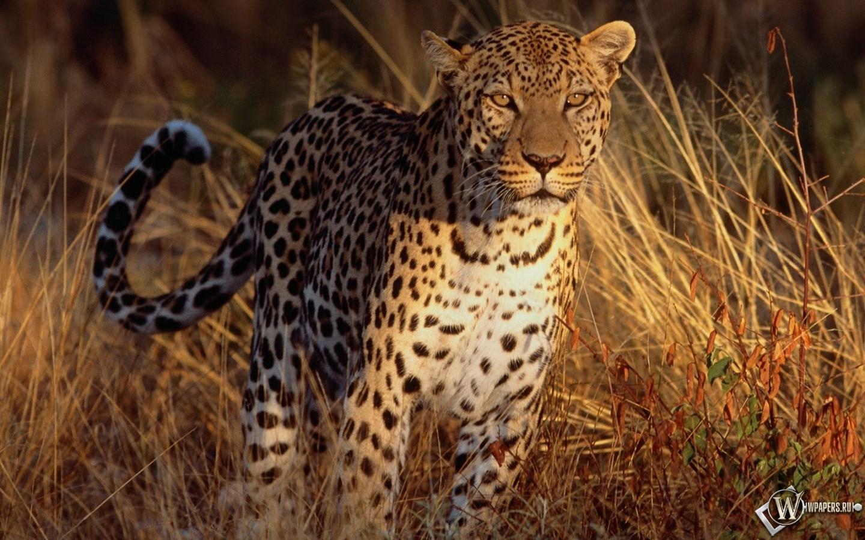 Леопард на охоте 1440x900