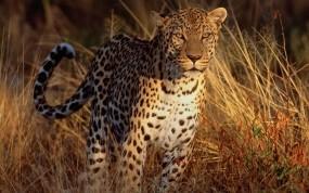 Обои Леопард на охоте: Леопард, Трава, Охотник, Леопарды