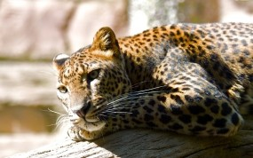 Обои Отдых леопарда: Леопард, Отдых, Леопарды