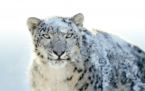 Обои Snow Leopard: Apple, Snow leopard, Снежный леопард, Леопарды