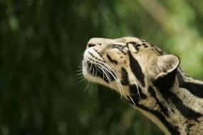 Обои Дымчатый леопард: Леопард, Голова, Дымчатый леопард, Леопарды