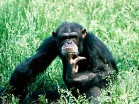 Обои Шимпанзе в траве: Трава, Шимпанзе, Думает, Обезьяны