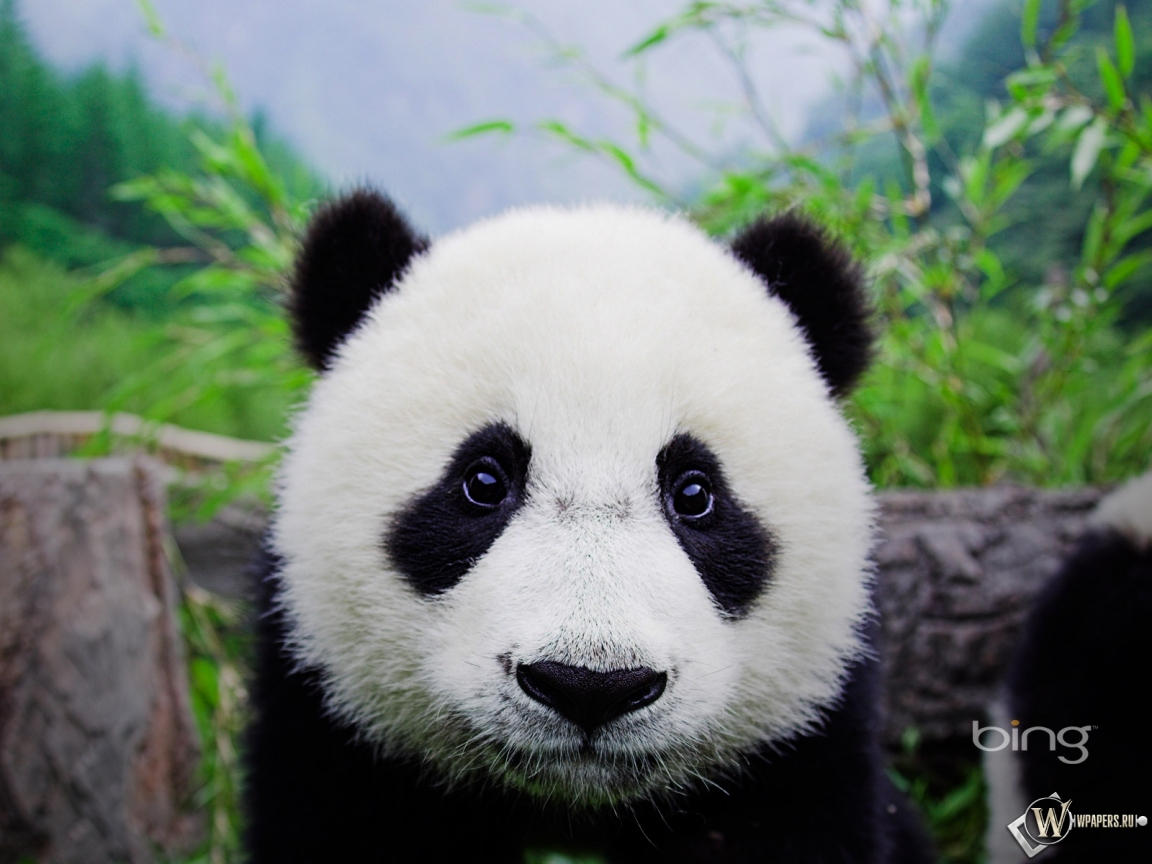 http://wpapers.ru/wallpapers/animals/Pandas/11119/1152x864_%D0%9F%D0%B0%D0%BD%D0%B4%D0%B0.jpg