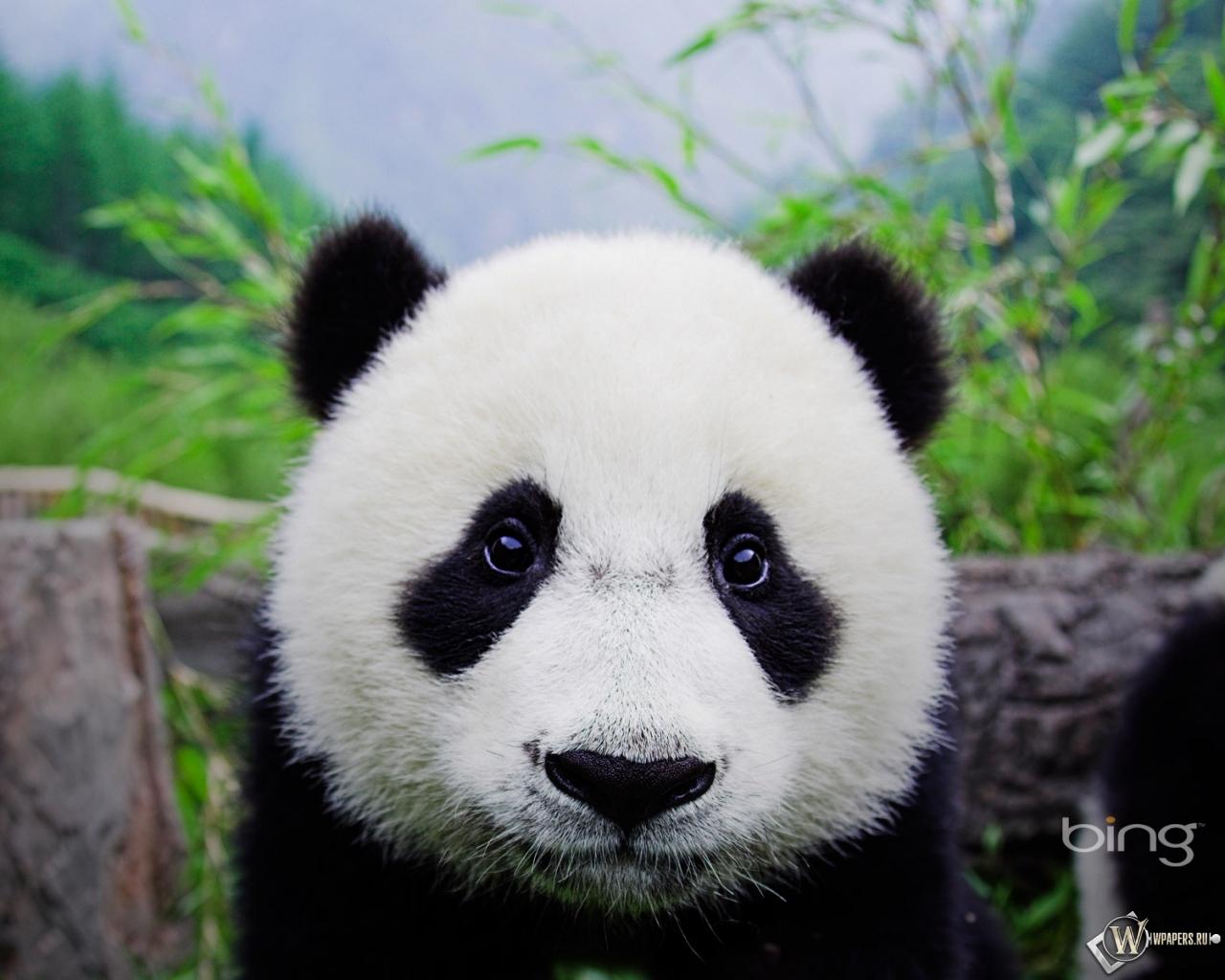 Панда животное