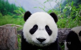Обои Панда: Панда, Мордашка, Животное, Панды