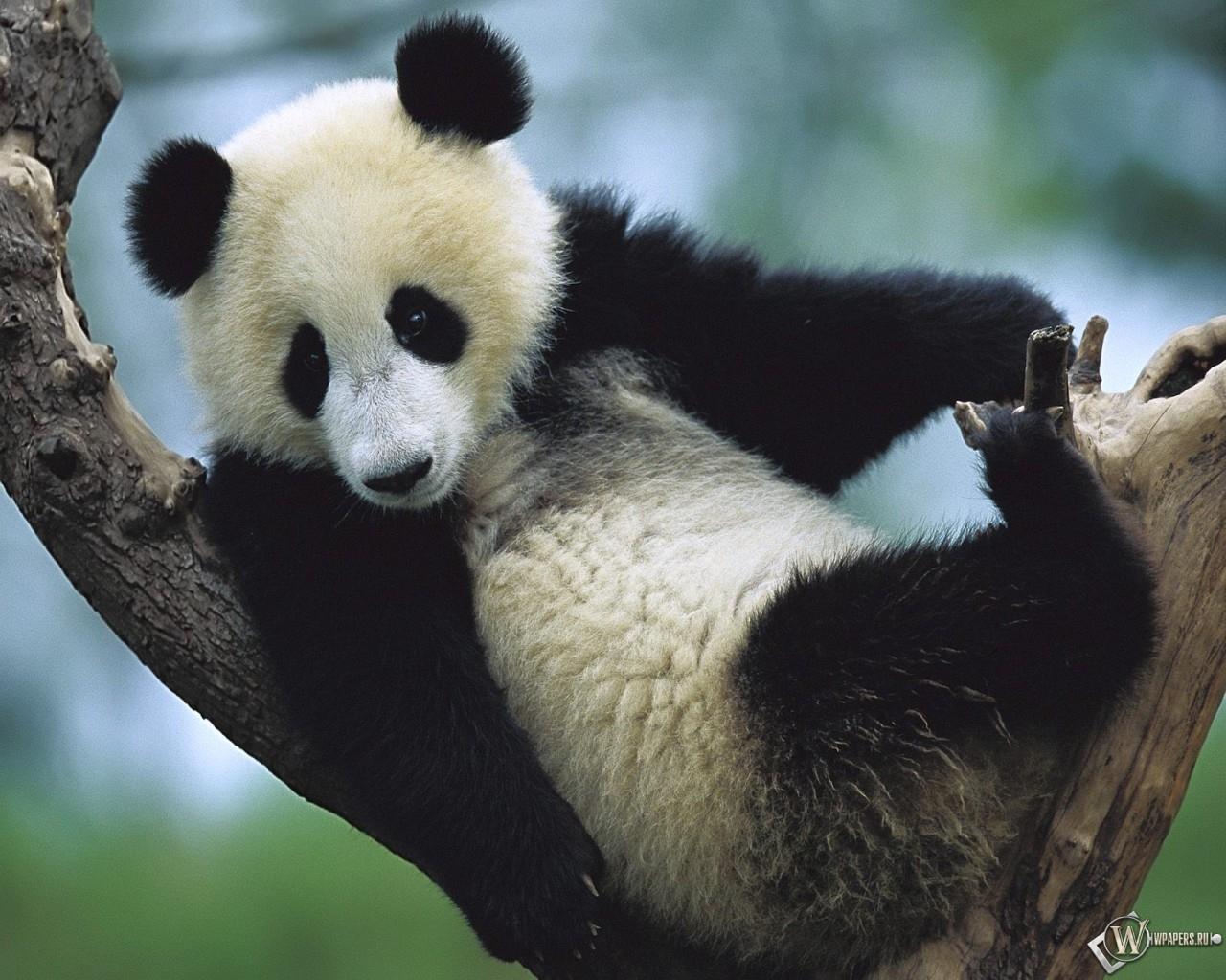 Giant Panda Cub Sichuan China 1280x1024