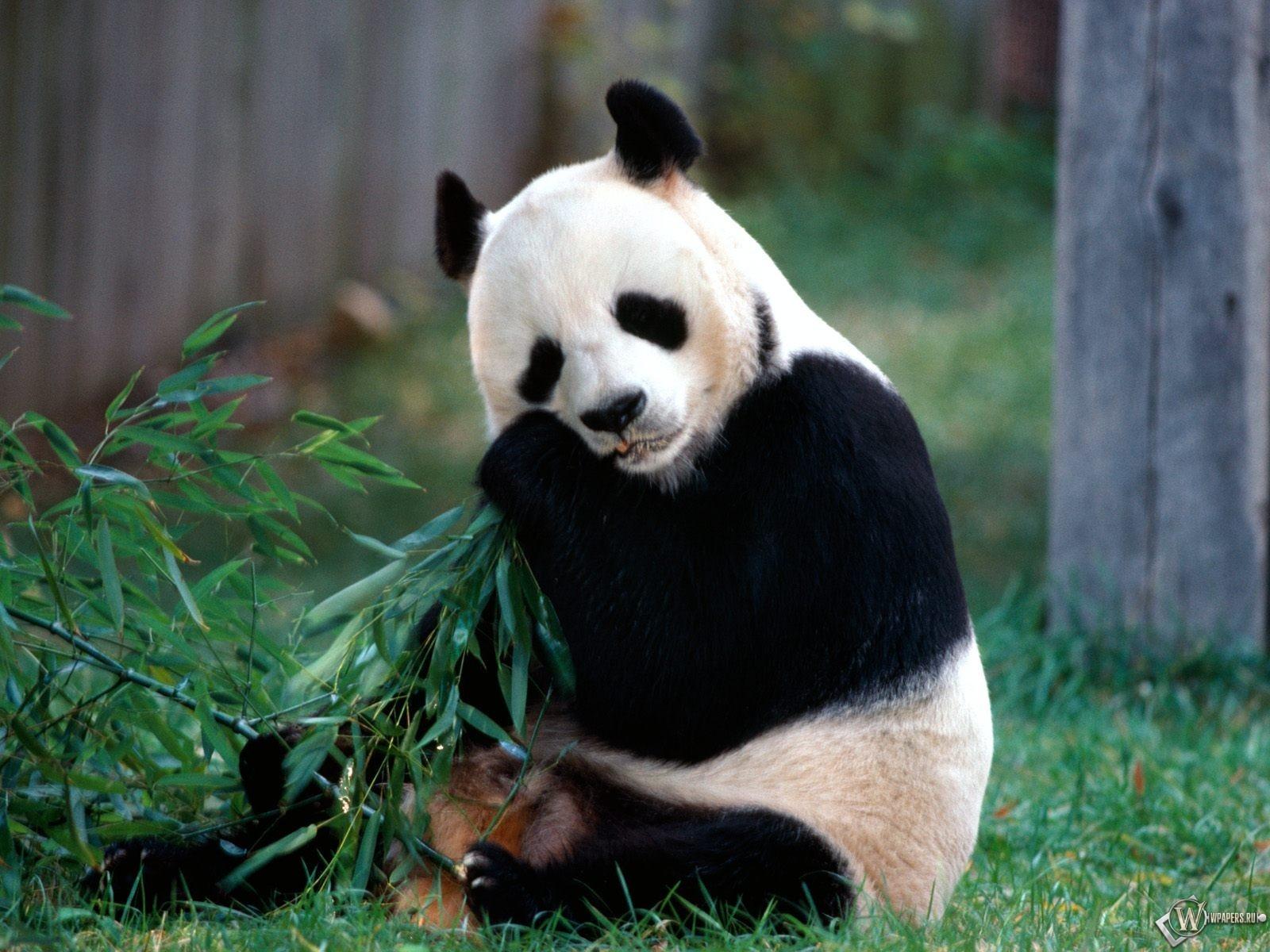 Панда ест 1600x1200