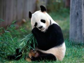Обои Панда ест: , Панды