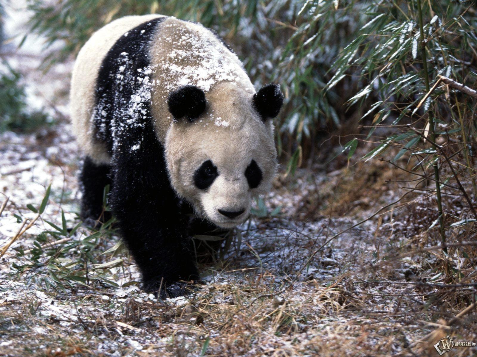 Панда гуляет 1600x1200