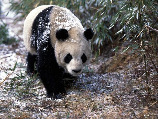 Панда гуляет