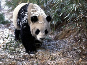 Обои Панда гуляет: , Панды