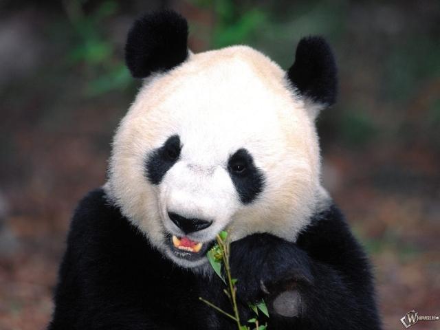 Панда кушает растенье
