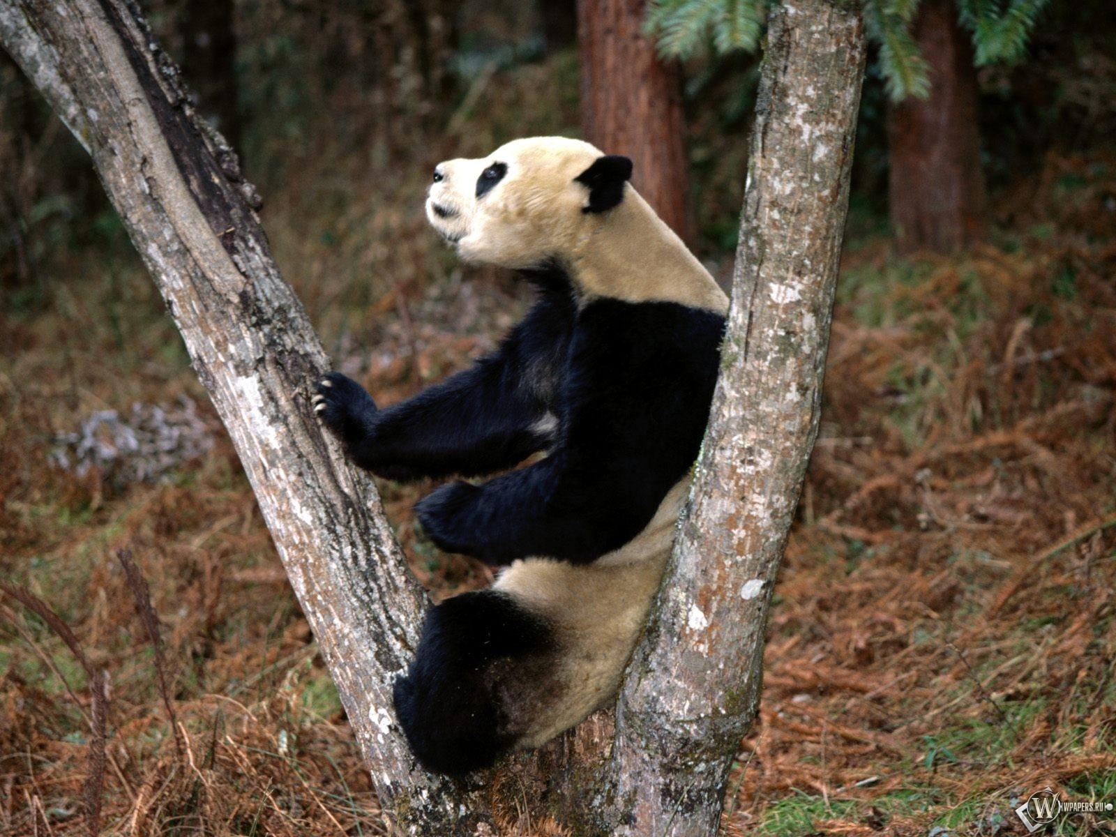 Панда на дереве 1600x1200