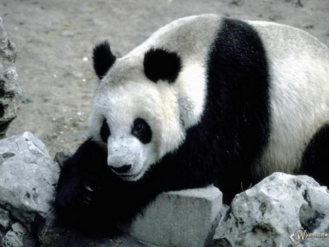 Панда отдыхает 1152x864