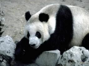 Обои Панда отдыхает: , Панды