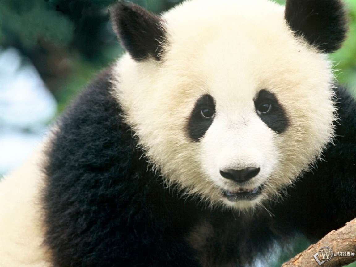 Панда крупным планом 1152x864