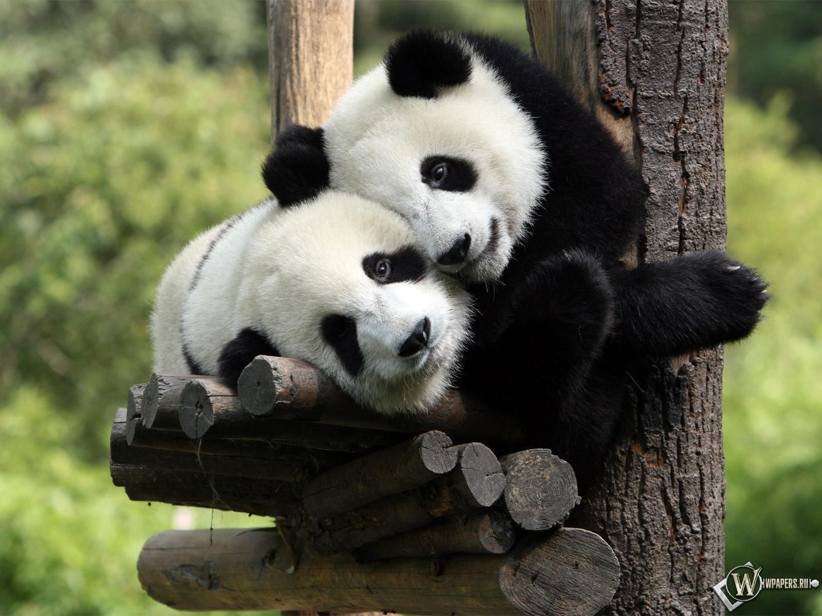 Панды обнимаются 1600x1200