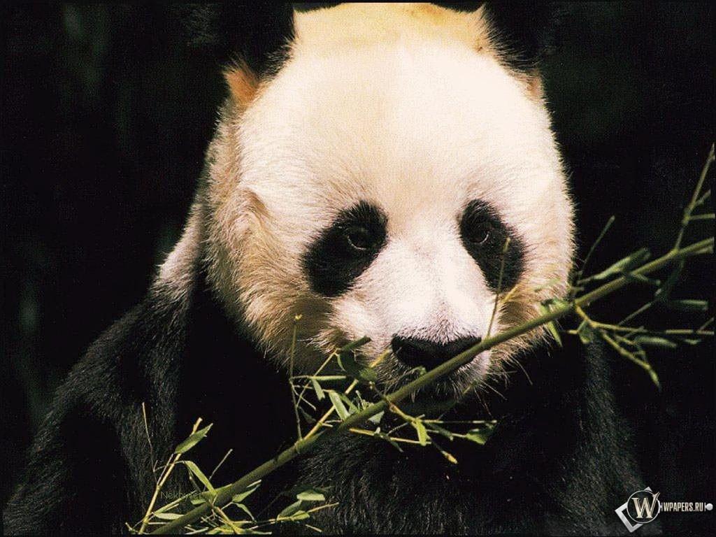 Панда и бамбук 1024x768