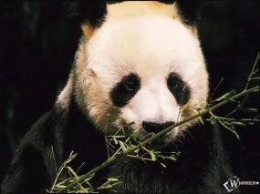 Обои Панда и бамбук: , Панды