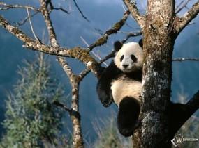 Обои Панда на ветке: , Панды