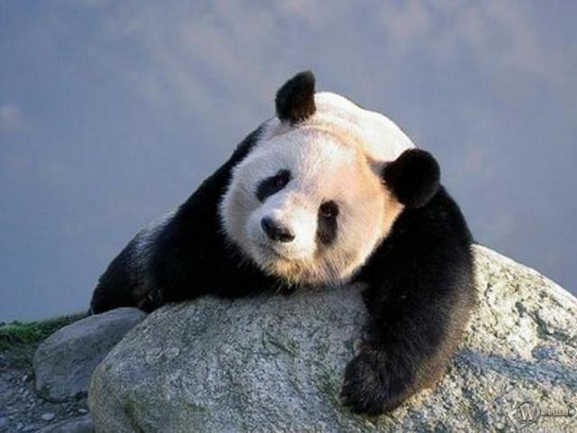 Панда на камне