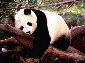 Обои Спящая панда: , Панды