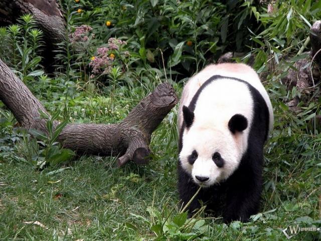 Панда возле коряги