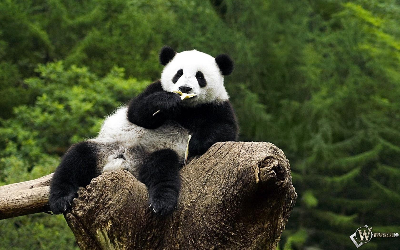 Панда на дереве - жуёт 1680x1050