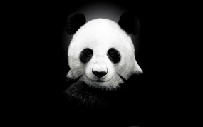 Обои Панда на черном фоне: Панда, Чёрный фон, Панды