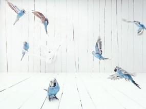 Обои волнистые попугаи: Полёт, Попугаи, Птицы, Попугаи