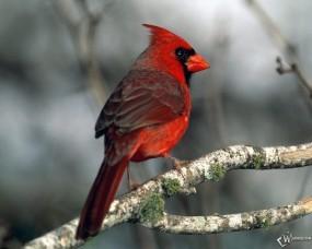 Обои Красный кардинал: Красный, Кардинал, Попугаи