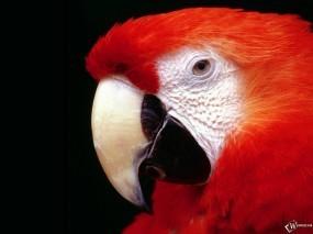 Обои Красный попугай: , Попугаи
