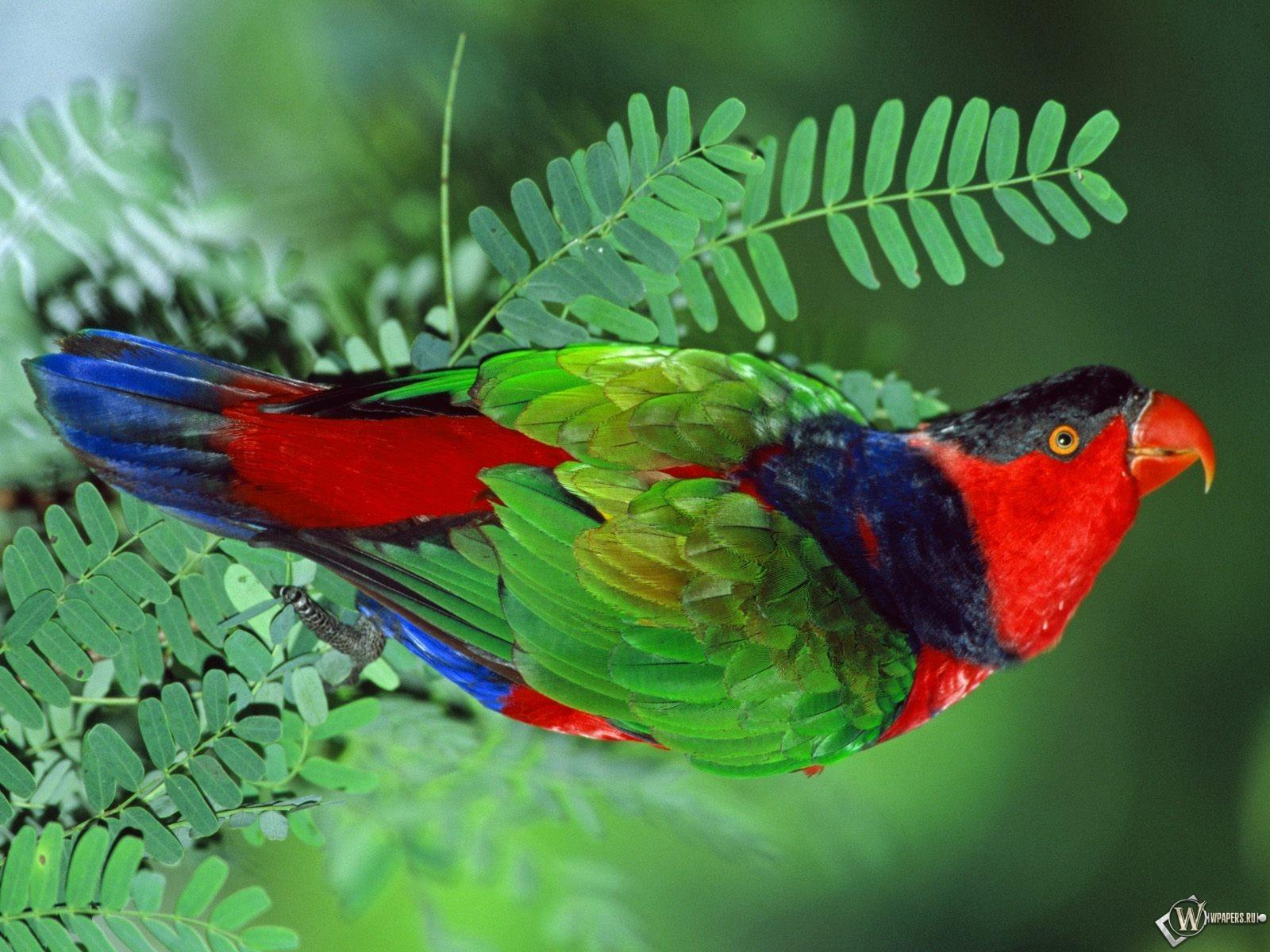 Разноцветный попугай 1600x1200