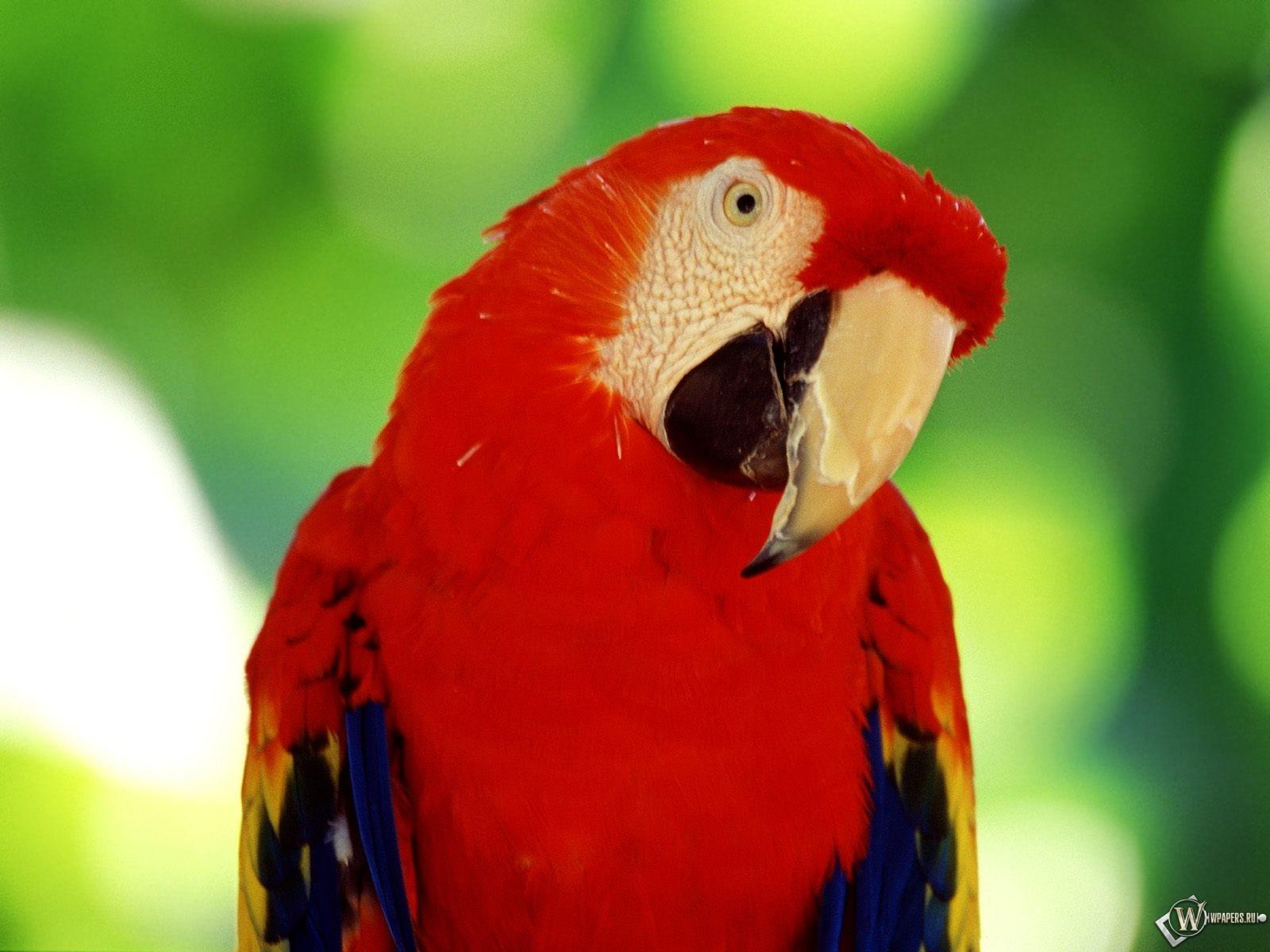 Красный попугай 1600x1200