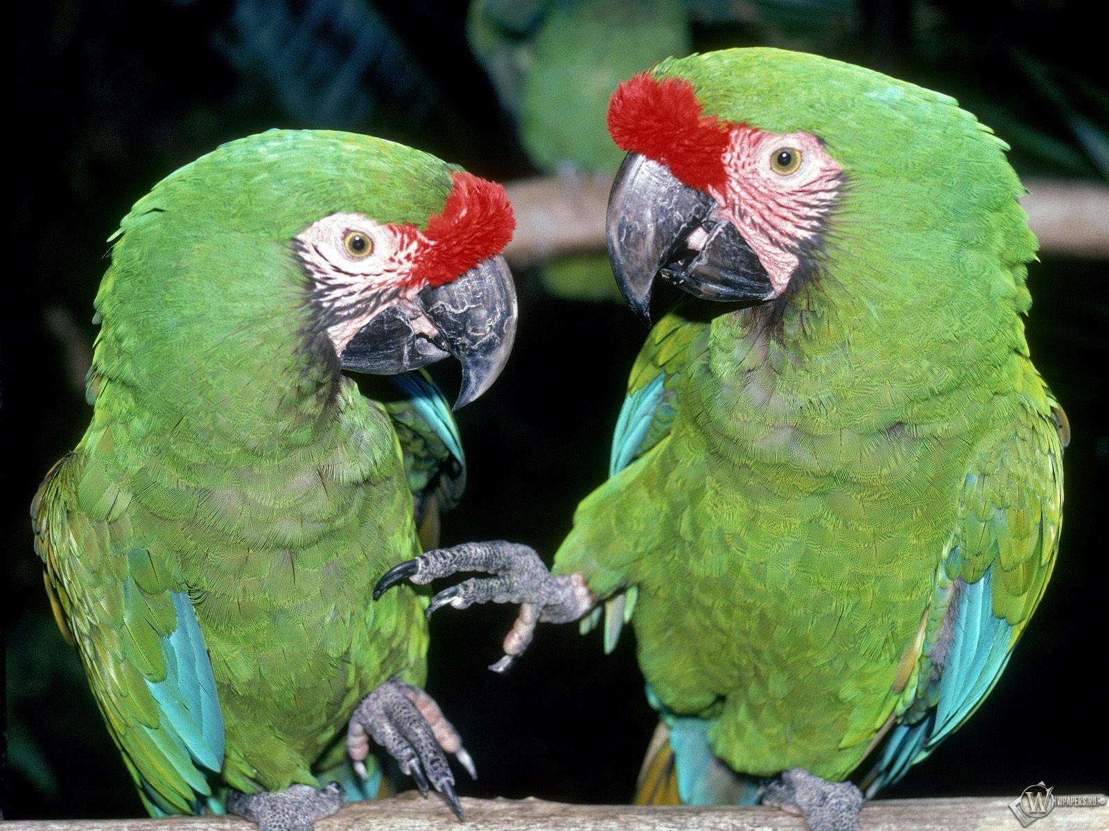 Два зеленых попугая 1600x1200
