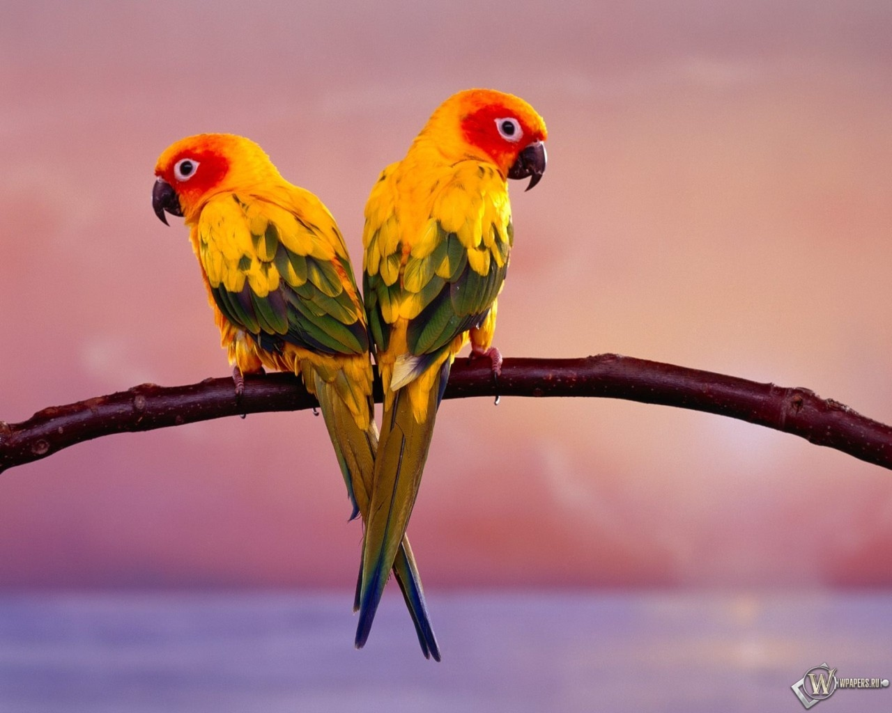 Два попугая 1280x1024
