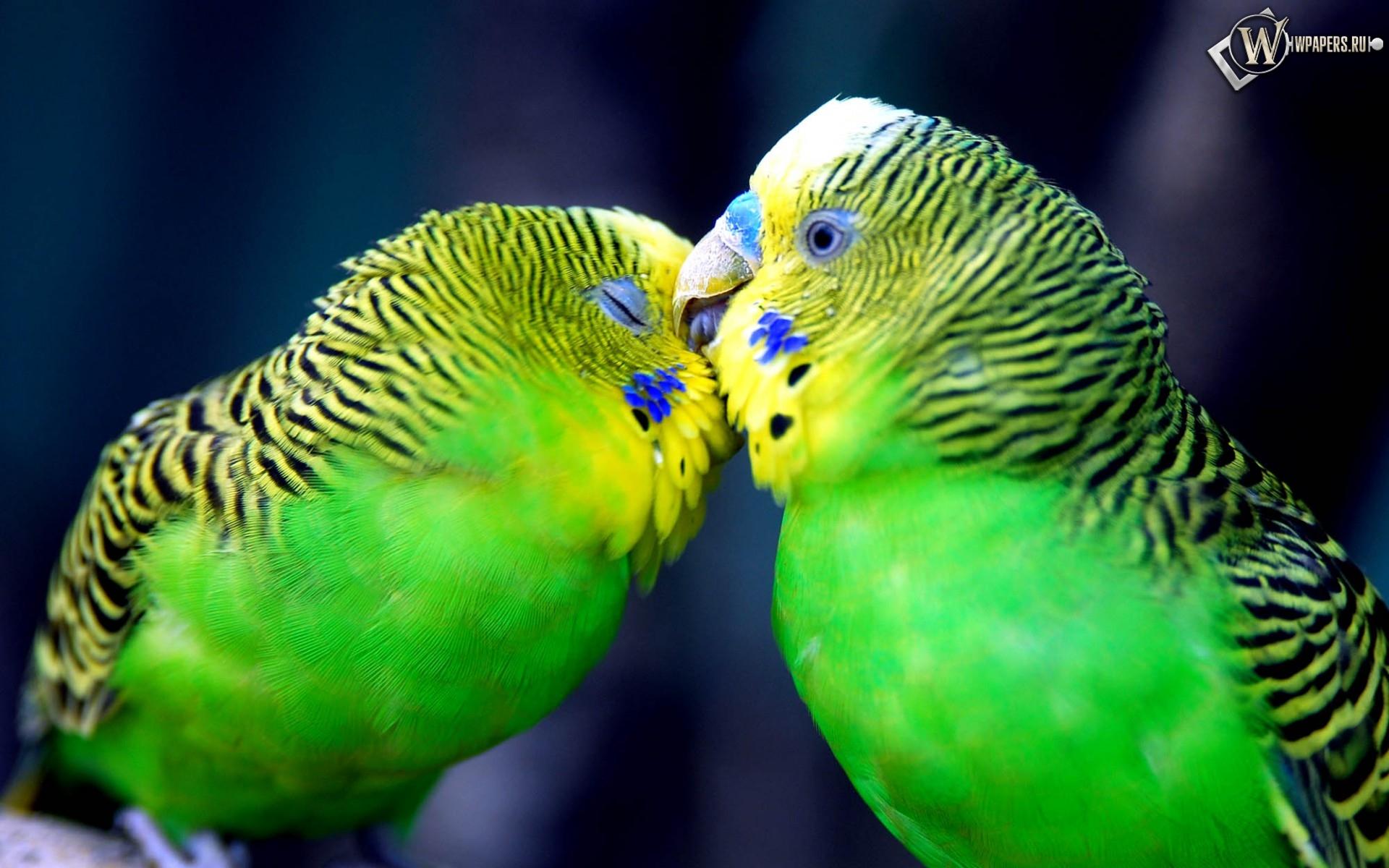 Попугаи целуются 1920x1200