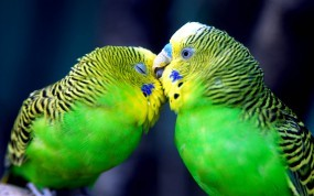 Обои Попугаи целуются: Любовь, Нежность, Попугаи, Попугаи