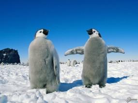 Обои Два пингвиненка: , Пингвины