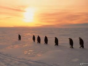 Обои Пингвины на рассвете: , Пингвины