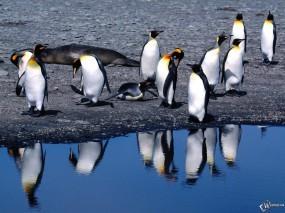 Обои Пингвины на берегу: , Пингвины